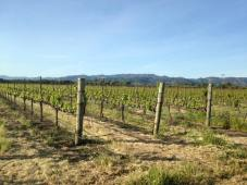 Vineyard, Sonoma