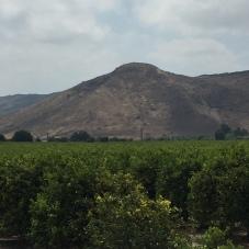 Lemon groves, Camarillo